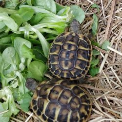tortues juveniles