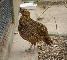 220px-Tragopan_temminckii_female[1]