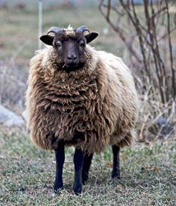 250px-Shetland_sheep_moorit