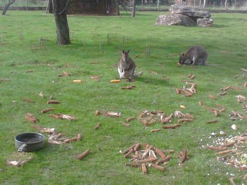 MÂLES WALLABY