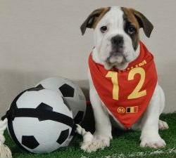 Engelse Bulldog pups te koop