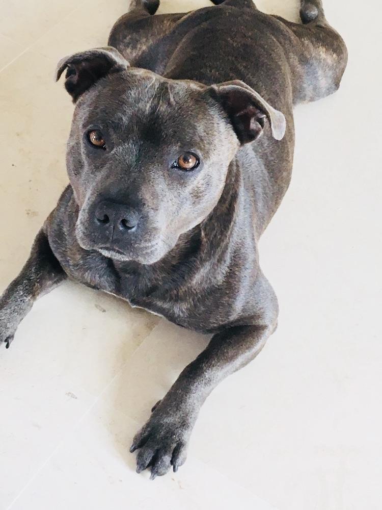 Recherche femelle bleue Staffordshire Bull Terrier pour ...