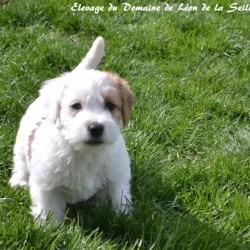 Chiot jack russell 1