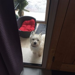 vends west higland white terrier