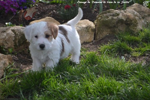 Chiot jack russell 2