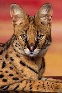 Chat Serval