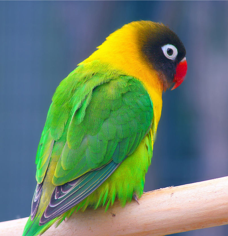 800px-Masked_Lovebird_(Agapornis_personata)_-Auckland_Zoo