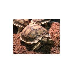tortue-sillonnee-sulcata 1