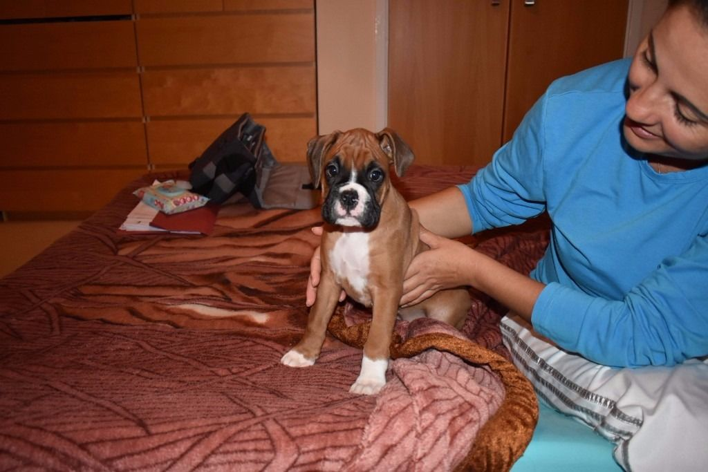 Boxer Puppies for sale3
