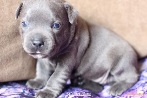 A Reserver Chiot Staffordshire Bull Terrier Bleu