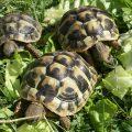 tortue-grecque-111007