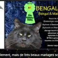Elevage chats bengal et maine coon